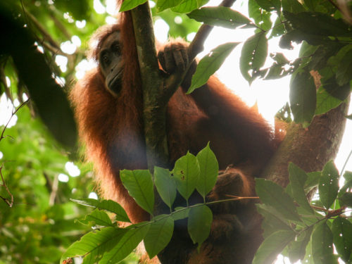 Orang-oetans spotten op Sumatra
